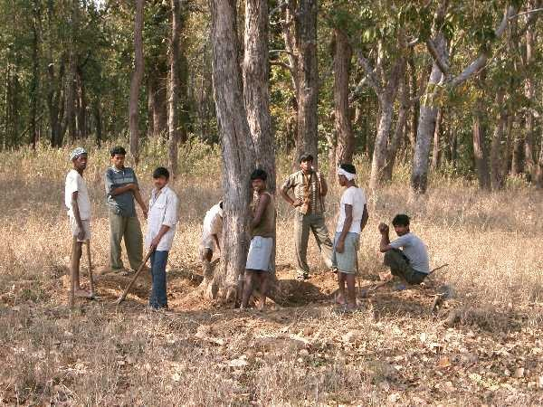 Fullgrown trees are being felled at the Kanha national park, but the authorities say they are only cutting down saplings!